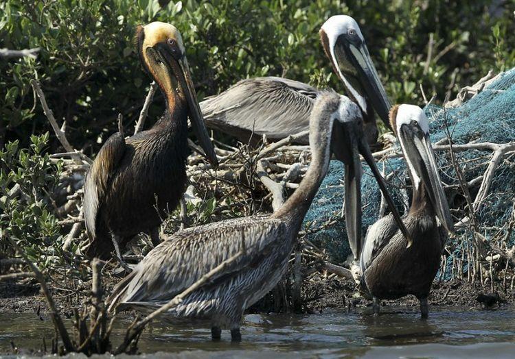 Страшные последствия разлива нефти в Мексиканском заливе